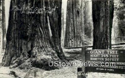 Bull Flat Giant Tree, Real Photo - California CA Postcard