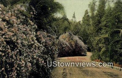 Banksia Roses - MIsc, California CA Postcard