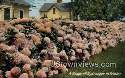 A Hedge, Hydrangeas - MIsc, California CA Postcard