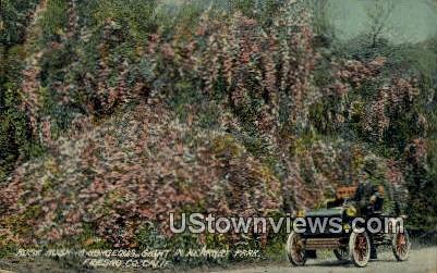 Roses - Fresno, California CA Postcard