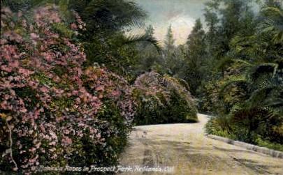 Banksia Roses in Prospect Park - Redlands, California CA Postcard