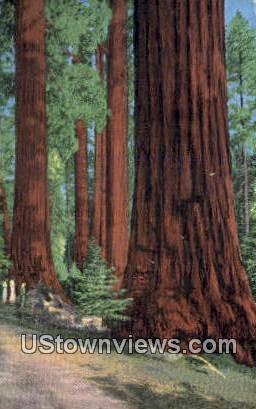 North Grove - Kings Canyon National Park, California CA Postcard