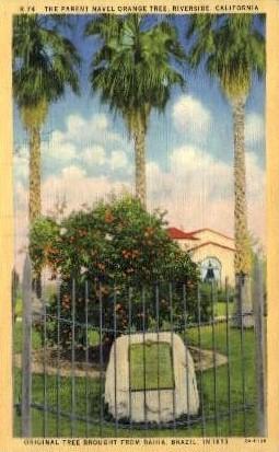 The Parent Navel Orange Tree - Riverside, California CA Postcard