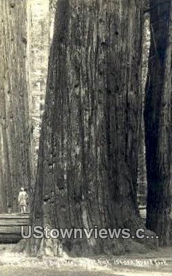 Bull Creek Big Tree - MIsc, California CA Postcard