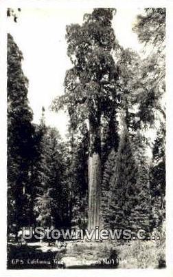 Tree - Kings Canyon National Park, California CA Postcard