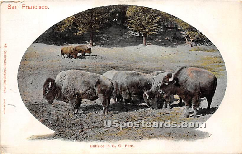 Buffalos, GG Park - San Francisco, California CA Postcard