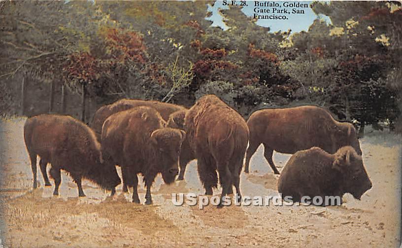 Buffalo, Golden Gate Park - San Francisco, California CA Postcard