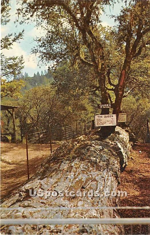 Queen of the Forest - Santa Rosa, California CA Postcard