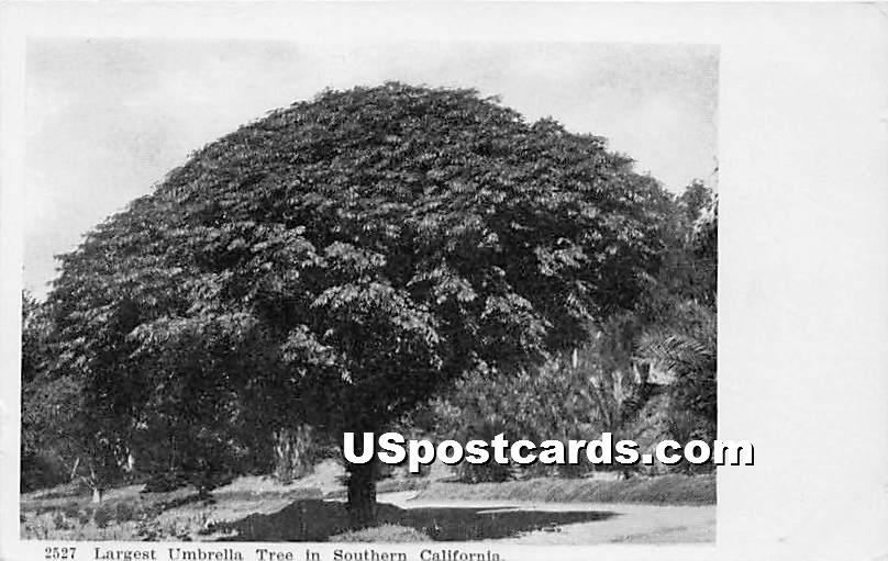 Largest Umbrella Tree - Southern California Postcards, California CA Postcard