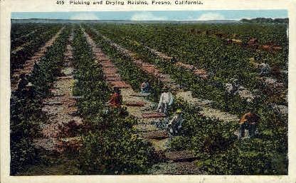 Picking & Drying Raisins - Fresno, California CA Postcard
