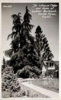 Real Photo, The Lebanon Cedar - Santa Rosa, California CA Postcard