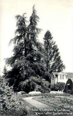 Real Photo, Cedar of Lebanon - Santa Rosa, California CA Postcard