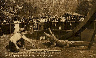 The California Alligator Farm - Los Angeles Postcard