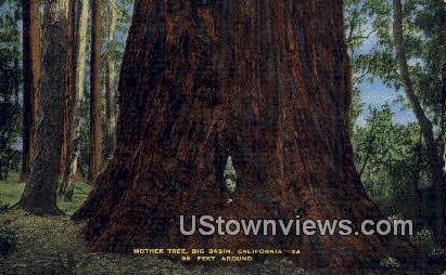 Mother Tree - Big Basin, California CA Postcard