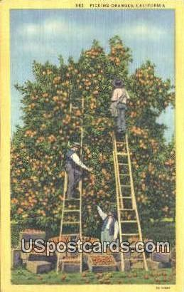 Picking Oranges - Los Angeles, California CA Postcard