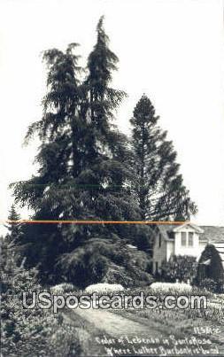 Real Photo - Cedar of Lebenon - Santa Rosa, California CA Postcard