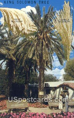 King Solomon Tree - Coachella Valley, California CA Postcard