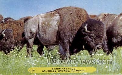 Buffalo - Colorado Springs Postcards, Colorado CO Postcard