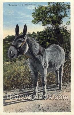 Looking for A Tenderfoot - Manitou, Colorado CO Postcard