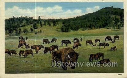 Buffalo on the Range in the Rockies - Misc, Colorado CO Postcard