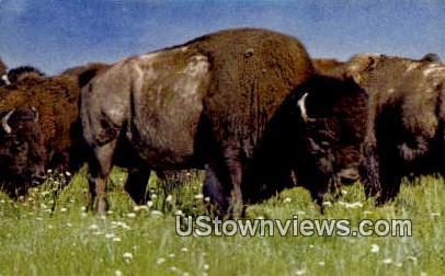 American Bison - Misc, Colorado CO Postcard