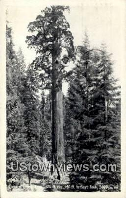 General Grant Tree - Misc, Colorado CO Postcard