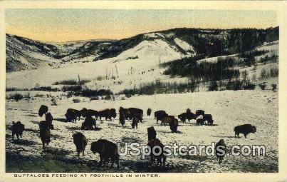 Buffaloes Feeding - Foothills, Colorado CO Postcard