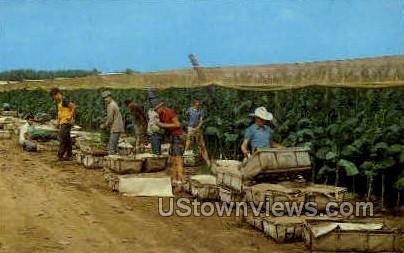 Picking Tobacco - Misc, Connecticut CT Postcard