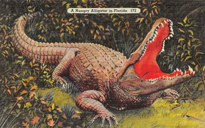 A Hungry Alligator in Florida Postcard