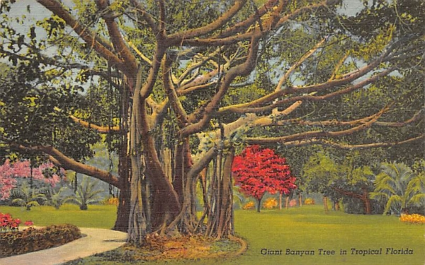 Giant Banyan Tree in Tropical Florida, USA Postcard