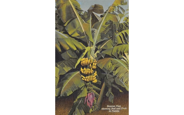 Banana Tree showing Bud and Fruit in Florida, USA Postcard