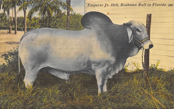 Emperor Jr. 10th, Brahman Bull Bradenton, Florida Postcard