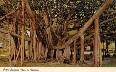 Giant Banyan Tree, in Florida, USA Postcard