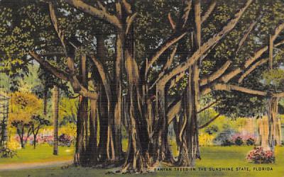 Banyan Trees in the Sunshine State, Florida, USA Postcard