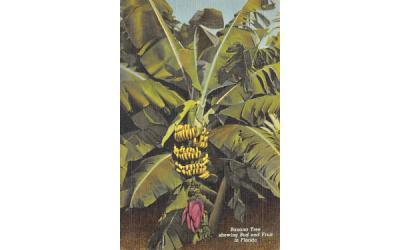 Banana Tree showing Bud and Fruit in FL, USA Banana Trees, Florida Postcard