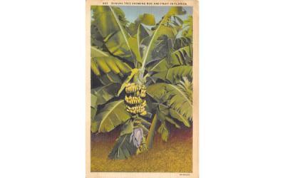 Banana Tree showing Bud and Fruit in FL, USA Banana Trees, Florida Postcard