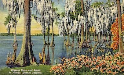 Cypress Trees - Cypress Gardens, Florida FL Postcard