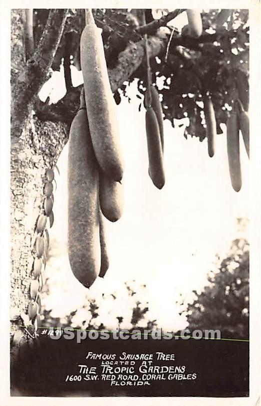 Sausage Tree, Tropic Gardens - Coral Gables, Florida FL Postcard