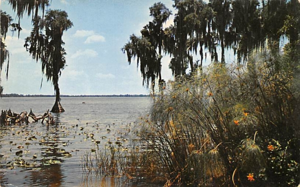 Sub-tropical Cypress Swamp Florida Postcard