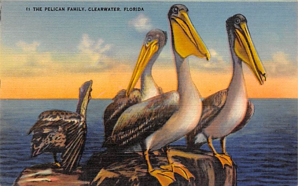 The Pelican Family Clearwater, Florida Postcard