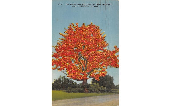 The Kapok Tree West Side of Davis Causeway Clearwater, Florida Postcard