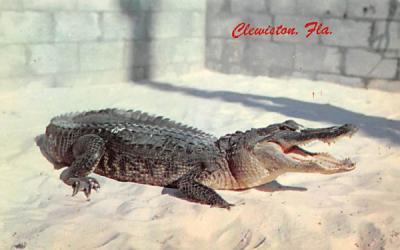 A mean 'gator Clewiston, Florida Postcard