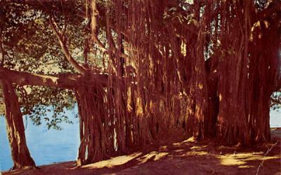 Banyan Tree on the Shore of Crescent Lake, FL, USA Florida Postcard