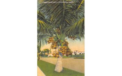 A Tree Loaded with Cocanuts in FL, USA Coconut Palm Trees, Florida Postcard