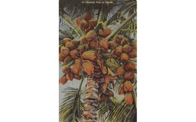 A Cocoanut Tree in FL, USA Coconut Palm Trees, Florida Postcard