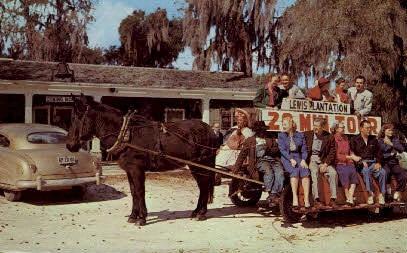 Mule & Wagon Tour - Tampa, Florida FL Postcard