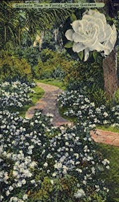 Gardenia Time - Cypress Gardens, Florida FL Postcard