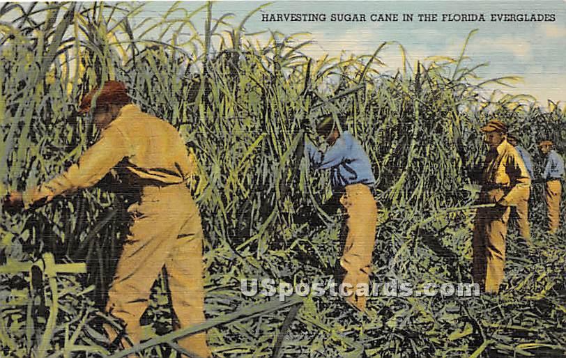 Harvesting Sugar Cane - Everglades, Florida FL Postcard