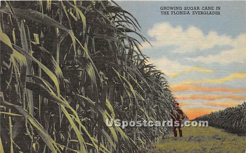 Growing Sugar Cane - Everglades, Florida FL Postcard