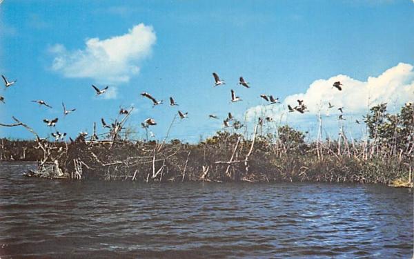 Wood Storks in Mangroveland Everglades National Park, Florida Postcard